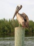 Pelikan auf Pfosten in USA Lizenzfreie Stockbilder