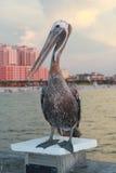Pelikan auf Pier Stockbilder