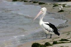 Pelikan auf Strand Lizenzfreie Stockbilder
