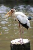 Pelikan auf Stumpf Stockbild