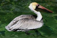 Pelikan auf Wasser lizenzfreie stockbilder