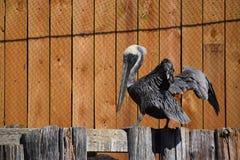 Pelikan auf Zaun Stockfotografie