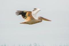 Pelikan beflügelt im Flug hoch ausgedehnt Lizenzfreies Stockbild