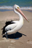 Pelikan bei Fremantle Lizenzfreie Stockfotografie