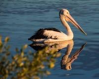 Pelikan bei Sonnenaufgang Lizenzfreies Stockfoto