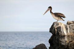 Pelikan betrachtet den Ozean Lizenzfreies Stockfoto
