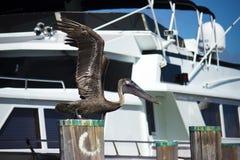Pelikan bierze daleko Zdjęcie Royalty Free