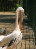 Pelikan bily, lat. Pelecanus onocrotalus Stock Images