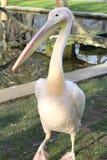 Pelikan Royalty Free Stock Images