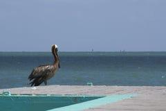 Pelikan Bridżowy Cataño Puerto Rico zdjęcie stock