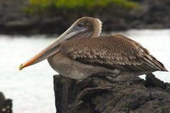 pelikan brown Zdjęcia Royalty Free