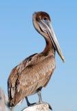 pelikan brown Obrazy Royalty Free