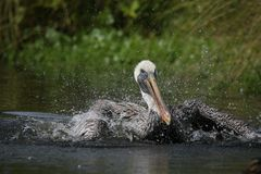 pelikan brown zdjęcie royalty free