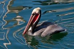 Pelikan Califoronia Brown Stockfotografie