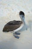 Pelikan Cancun, Mexico Arkivfoton