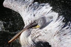 Pelikan in den Tropfen des Wassers Stockfoto