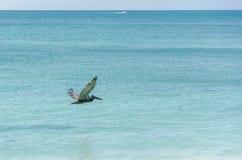 Pelikan, der über den Strand in Aruba-Insel fliegt Lizenzfreie Stockfotografie