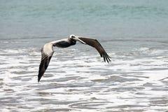 Pelikan, der über die Brandungslinie fliegt Stockbilder