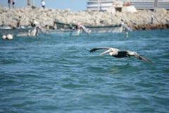 Pelikan, der über die Meereswogen fliegt Stockbilder