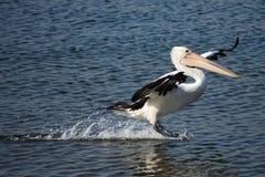 Pelikan, der über Wasser während der Landung gleitet Stockfotos