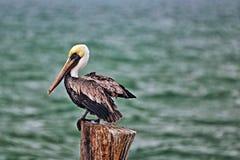 Pelikan, der auf Bootsdockbeitrag in Puerto Juarez/Punta Sam Cancun Quintana Roo Mexiko hockt lizenzfreie stockfotografie