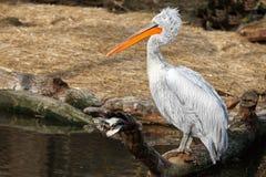 Pelikan, der auf einem Baumstumpf auf dem See sitzt stockfotos
