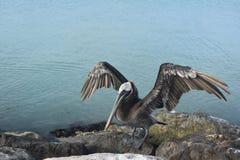 Pelikan, der auf einem Felsen mit seinen Flügeln heraus steht Stockbild