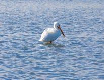 Pelikan, der auf einer Sandbank sitzt lizenzfreie stockbilder