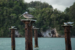Pelikan, der auf fauler Anlegestellenunterstützung sitzt Lizenzfreie Stockbilder