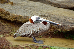 Pelikan, der auf felsigem Ufer stillsteht stockfotos