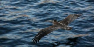 Pelikan, der auf felsigem Ufer stillsteht Stockbilder