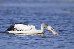 Pelikan, der auf Fische mit blauem Wasser einzieht Lizenzfreie Stockfotos