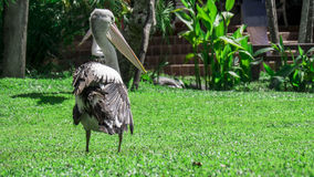 Pelikan, der auf Gras sitzt Stockfotografie