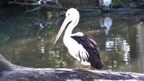 Pelikan, der auf Klotz am Wasserrand von Teich steht stock video footage