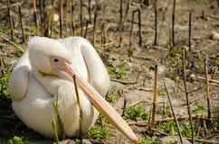 Pelikan, der auf trockenem Land sitzt Lizenzfreies Stockfoto