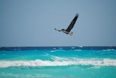 Pelikan, der über das karibische Meer in Cancun Mexiko fliegt Stockfoto
