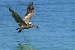 Pelikan, der über das Meer in Tortola Karibisches Meer fliegt Lizenzfreies Stockbild