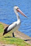 Pelikan, der den Fluss in Adelaide bereitsteht Stockfotografie