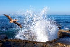 Pelikan, der durch das Spritzen der Ozean-Wellen ansteigt Stockfoto