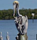 Pelikan, der durch das Wasser auf Sunny Day sich pflegt Lizenzfreie Stockbilder