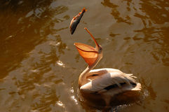 Pelikan, der einen Fisch abfängt Stockfotos