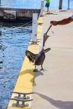 Pelikan, der einen Fisch eingezogen wird Lizenzfreie Stockfotografie