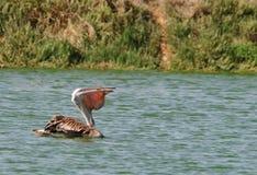 Pelikan, der einen Fisch isst Stockbild