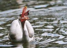 Pelikan, der einige Fische abfängt Lizenzfreies Stockbild
