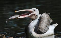 Pelikan, der einige Fische abfängt Stockfoto