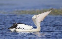 Pelikan, der Fische auf See schluckt Stockfotos