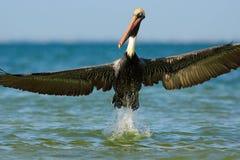 Pelikan, der im blauen Wasser beginnt Brown-Pelikan, der im Wasser spritzt Vogel im dunklen Wasser, Naturlebensraum, Florida, USA lizenzfreie stockfotografie