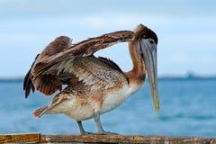 Pelikan, der im blauen Wasser beginnt Brown-Pelikan, der im Wasser spritzt Vogel im dunklen Wasser, Naturlebensraum, Florida, USA Stockbild