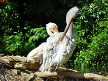 Pelikan, der im Zoo in NÃ-¼ rnberg sitzt lizenzfreie stockfotos