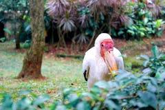 Pelikan, der Indonesien TMII versteckt Stockfotografie